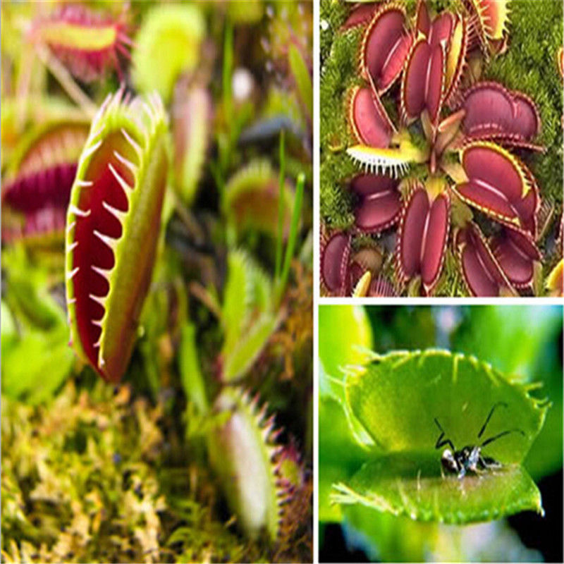 Venus Flytrap Carnivorous Plant Seeds (40 Seeds)
