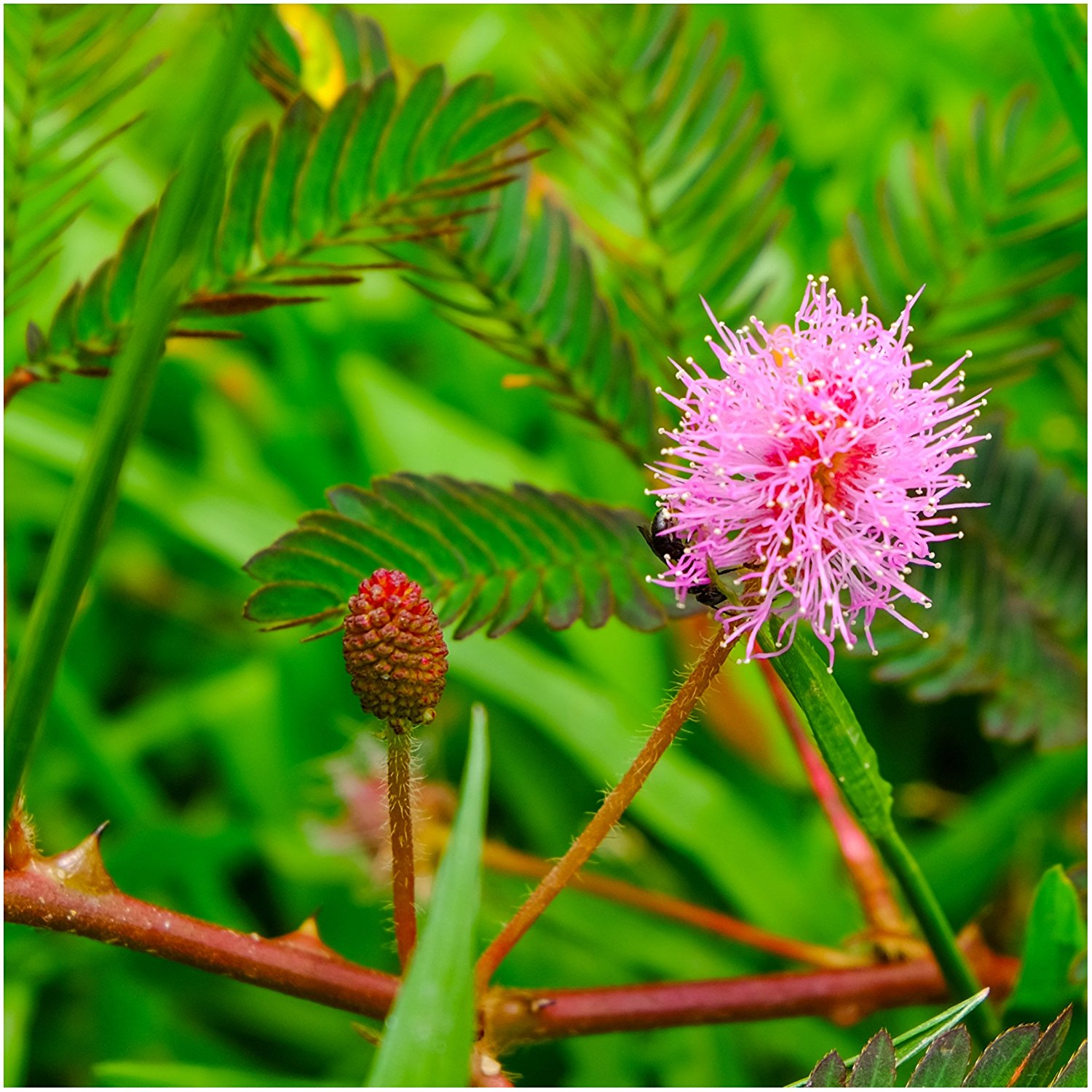 Mimosa Pudica Plant Seeds (Pack Of 100 Seeds)