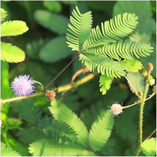 Annual Seeds-Mimosa Pudica (Package of 100 Seeds)