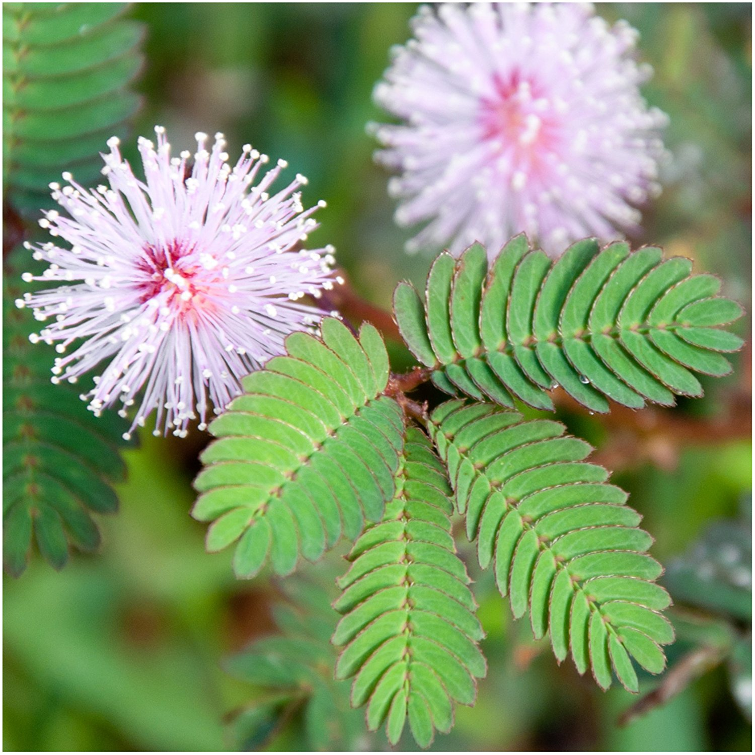 mimosa pudica plant seeds pack of 100 seeds life changing products. Black Bedroom Furniture Sets. Home Design Ideas