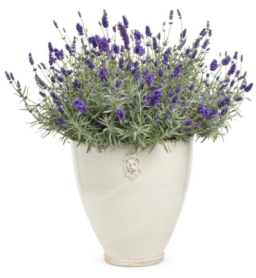 French Lavender Seeds