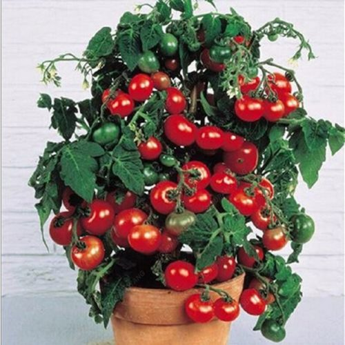 Bonsai Tomato Seeds