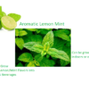 Lemon Mint Seeds