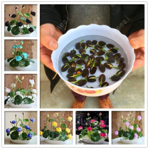 Lotus Plant Aquatic Flower Seed
