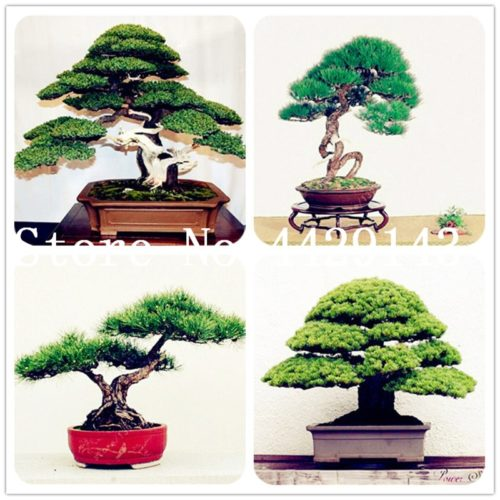 Bonsai Tree Natural Indoor Decoration