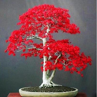 Indoor Bonsai Tree 30pc Seed Pack Life Changing Products