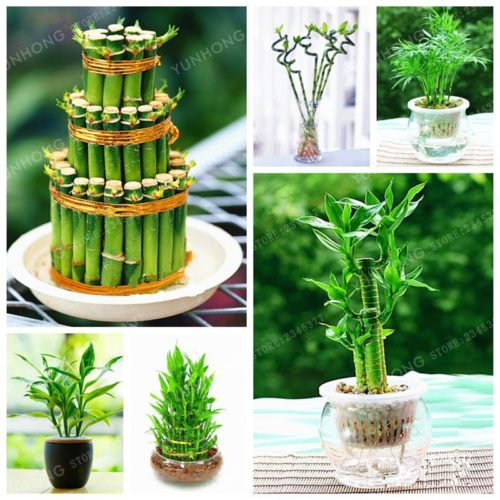 Lucky Bamboo Plant Seeds Indoor Plants