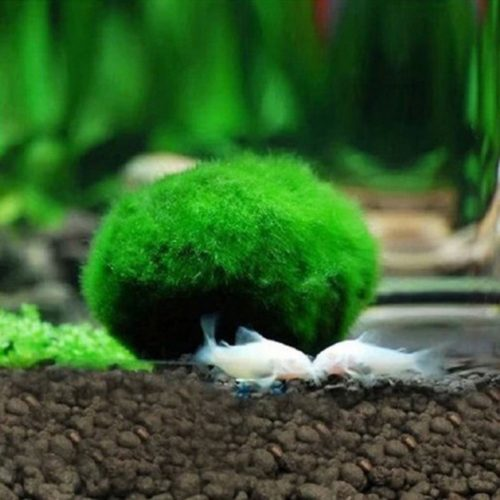 Moss Ball Aquarium Pet Supplies