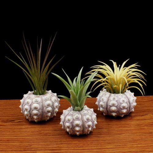 Sea Urchin Shell Air Plant Holder