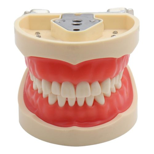 Dental Model Demonstration Tool with Teeth