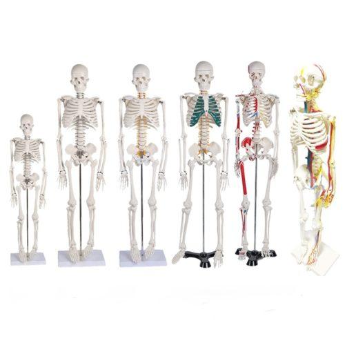Human Skeleton Model Medical Anatomy