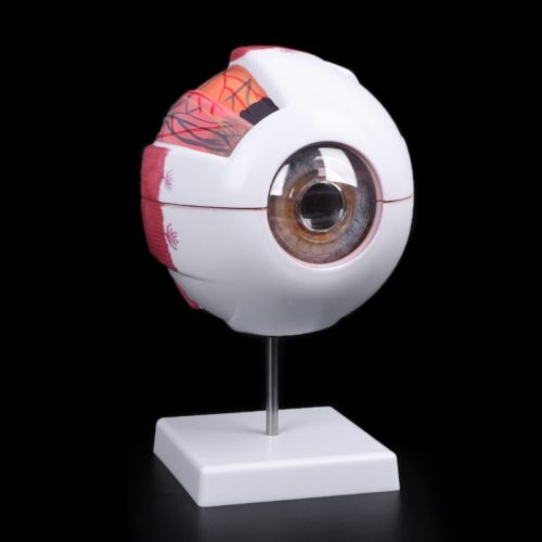 Eye Anatomy Model Medical Demo Tool