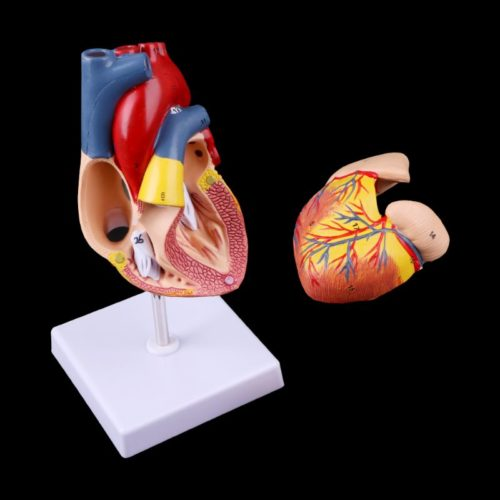 Heart Model Anatomical Organ Prop