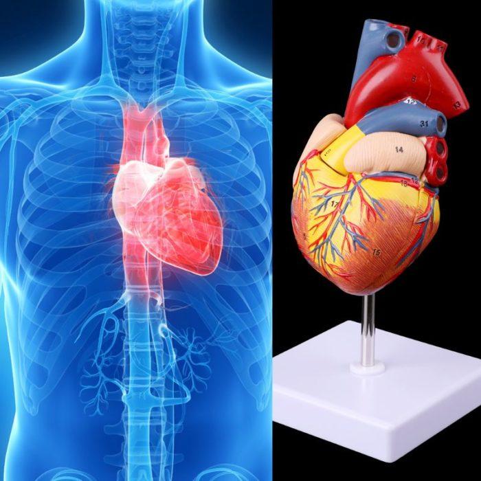 Heart Model Anatomical Organ Prop