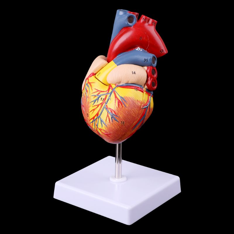 Medical props model Free postage Disassembled Anatomical Human Heart Model Anatomy Medical Teaching Tool