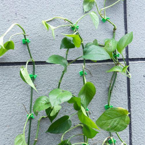 Plant Climbing Wall Fixtures Clips (20 Pcs)