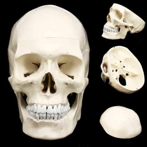 Anatomic Human Skull Model