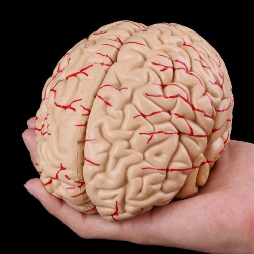 Medical Study Anatomy Brain Model