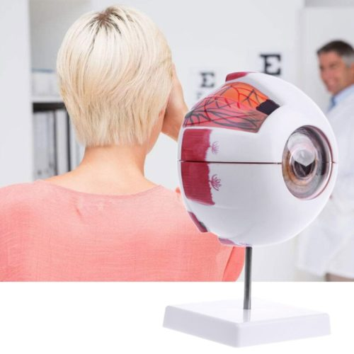 Human Anatomical Eyeball Model