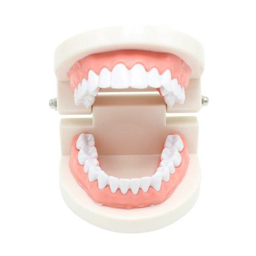 Dental Teeth Model Demonstration Tool